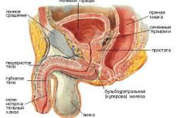 Устройство мочеполовой системы