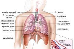 Структура органов дыхания